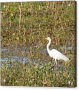 Great Egret Fishing Acrylic Print