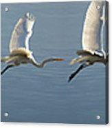 Great Egret Flight Sequence Acrylic Print