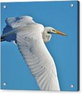Great Egret Flying High Acrylic Print