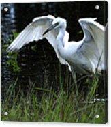 Great Egret Hunting Acrylic Print