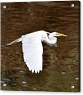 Great Egret In Flight Acrylic Print