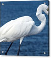 Great Egret  In Florida Acrylic Print