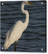 Great Egret In The Last Light Of The Day Acrylic Print