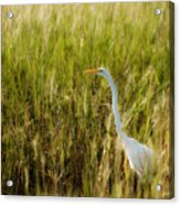 Great Egret In The Morning Dew Acrylic Print