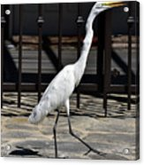 Great Egret In The Neighborhood Strutting 1 Acrylic Print