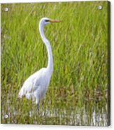Great Egret In The Spring  Acrylic Print
