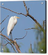 Great Egret In Tree Acrylic Print