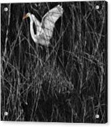 Great Egret Inthe Marsh Acrylic Print