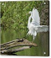 Great Egret Landing Acrylic Print