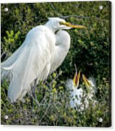 Great Egret Mom And Babies Acrylic Print