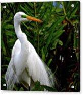 Great Egret Nesting Acrylic Print