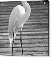 Great Egret On The Pier - Black And White Acrylic Print