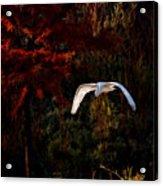 Great Egret Paradise Flight Acrylic Print