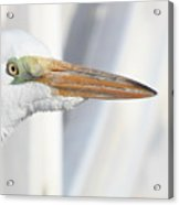 Great Egret Profile 2 Acrylic Print