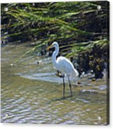 Great Egret Acrylic Print
