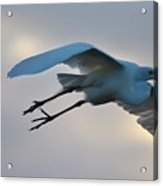 Great Egret Soaring Gracefully Acrylic Print