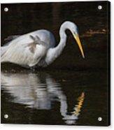 Great Egret Staring At His Reflection Acrylic Print