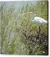 Great Egret Through Reeds Acrylic Print