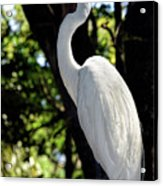 Great Egret Up Close Acrylic Print