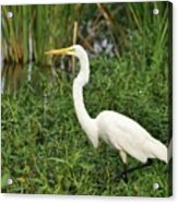 Great Egret Walking Acrylic Print