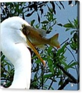 Great Egret With Catch 2 Acrylic Print