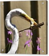 Great Egret With Lizard Who Is Holding Onto Wood Acrylic Print