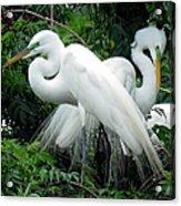 Great Egrets 10 Acrylic Print