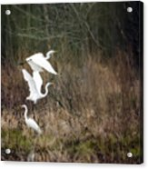 Great Egrets Acrylic Print