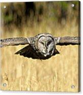 Great Gray Owl In Flight Acrylic Print
