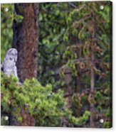 Great Gray Owl Perched Acrylic Print