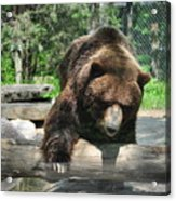 Great Grizzly's Acrylic Print