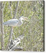 Great Heron With Mouth Open Acrylic Print