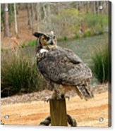 Great Horned Owl 1 Acrylic Print