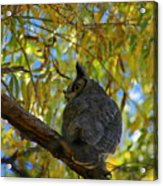 Great Horned Owl 2 Acrylic Print