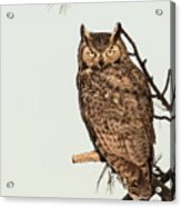 Great Horned Owl At Dusk Acrylic Print
