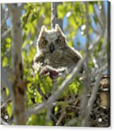 Great Horned Owl Chick Acrylic Print