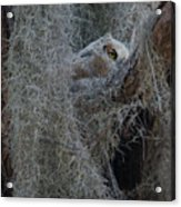 Great Horned Owl Fledgling Acrylic Print