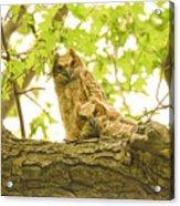 Great Horned Owl Fledglings Acrylic Print