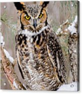 Great Horned Owl Nature Wear Acrylic Print