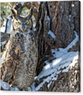 Great Horned Owl On Snowy Branch Acrylic Print