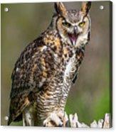 Great Horned Owl Screeching Acrylic Print