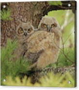 Great Horned Owlets Acrylic Print