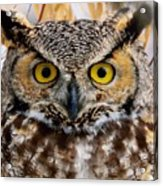 Great Horned Stare Acrylic Print