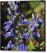 Great Lobelia Blues Acrylic Print