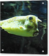 Great Longhorn Cowfish Swimming Along Underwater Acrylic Print