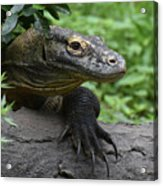 Great Look At A Komodo Dragon With Long Claws Acrylic Print