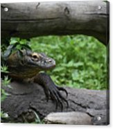 Great Look At A Komodo Monitor Lizard With Long Claws Acrylic Print