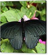 Great Mormon Butterfly Acrylic Print