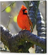 Great  Perch Male Northern Cardinal Acrylic Print