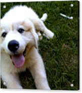 Great Pyrenees Puppy Acrylic Print